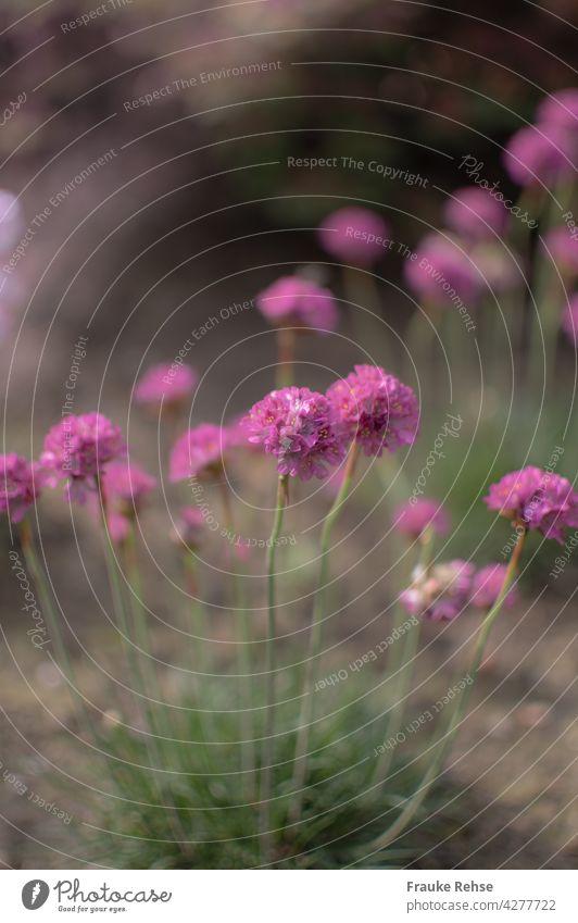Pink, pink, pink - Strand-Grasnelken mit schwacher Tiefenschärfe rosa grün Blüte Sommer blühen blühend unter Naturschutz Garten natürlich schön Pflanze