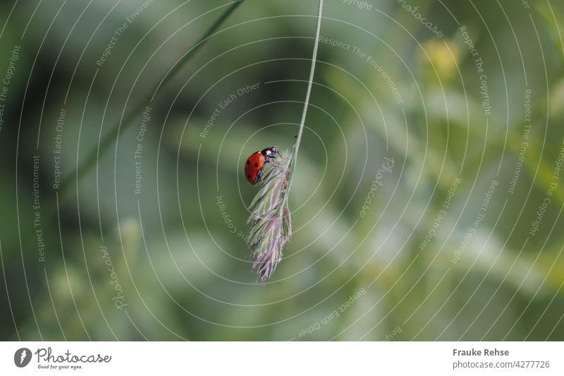 Ein Marienkäfer schaukelt auf einem Grashalm rot schwarze Punkte niedlich Tier Käfer grün Insekt krabbeln schaukeln Seele baumeln Nahaufnahme Natur Glück Sommer