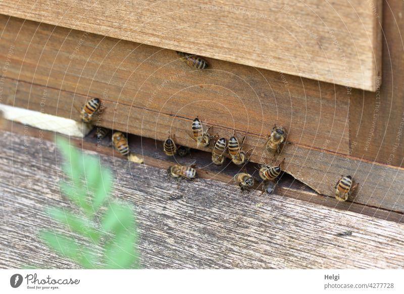 Bienen am Einflugloch eines Bienenstocks Insekt Imme Makroaufnahme Honigsammler bedroht Honigbiene Natur Imkerei Bienenzucht Sommer Holzkasten fleißig Blatt