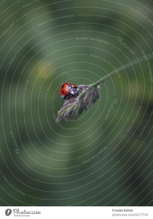 Ein Marienkäfer macht Rast auf einem Grashalm Glückskäfer Käfer Knaulgras schwarze Punkte niedlich rot knäuelig Rispe Horste Wiese graugrün Glücksbringer