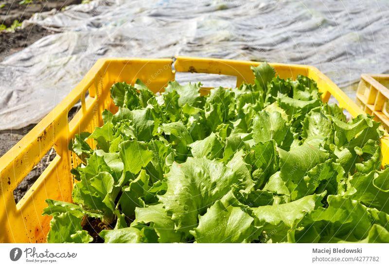 Bio-Gemüse-Setzlinge in einer Kiste auf einem Bauernhof, selektiver Fokus. Öko organisch Biografie Mulch Garten Keimling Salat Kasten Ackerbau Lebensmittel
