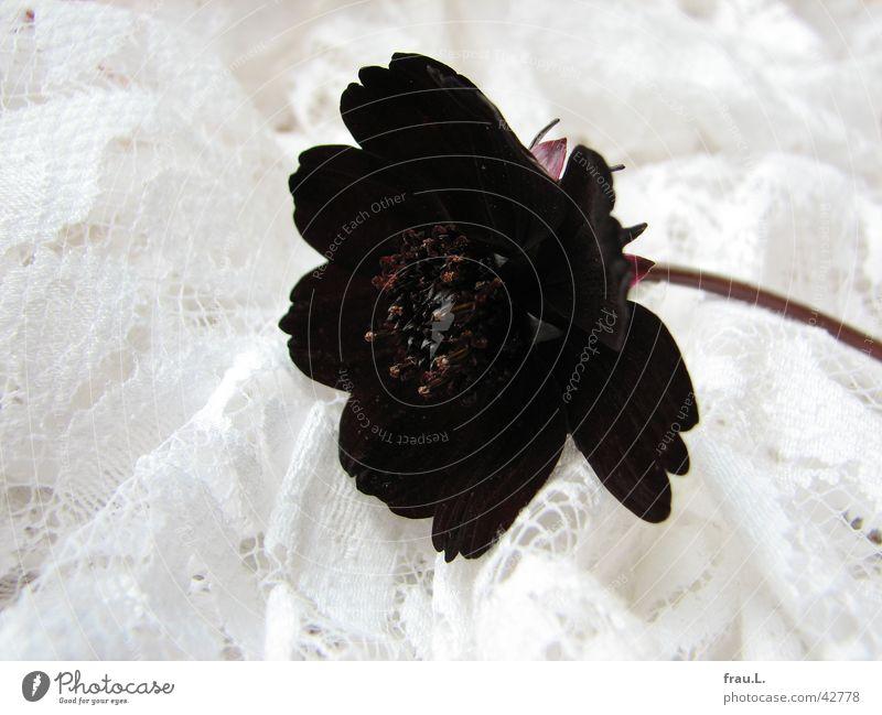 schwarze Witwe - die letzte Natur Blume Pflanze rot Blatt schwarz einfach Kitsch Dekoration & Verzierung Spitze Stoff Stengel edel Staubfäden
