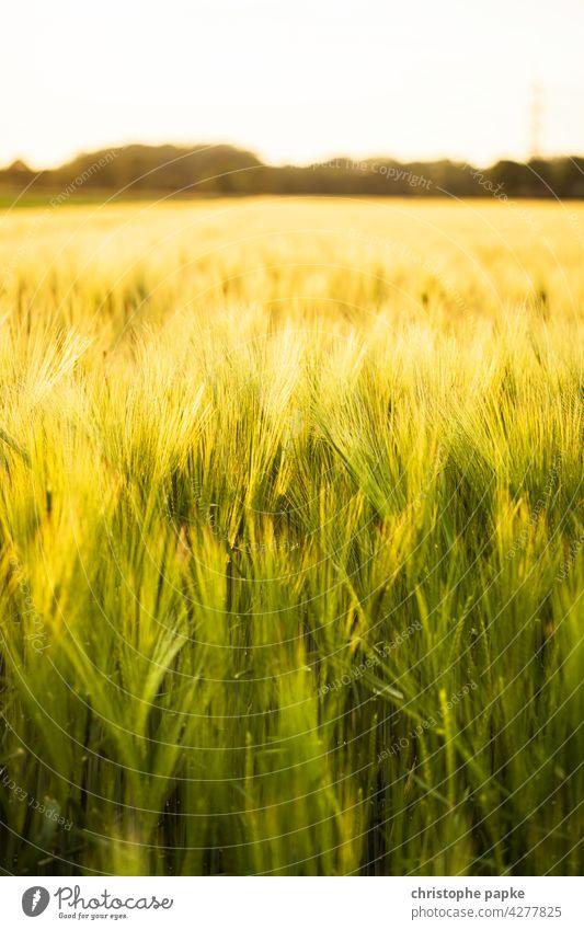 Weizenfeld im Abendlicht Kornfeld Getreidefeld Ähre Feld Abendsonne Ähren Weizenähre Landwirtschaft Pflanzen Gerste Roggen Nutzpflanze Wachstum Sommer