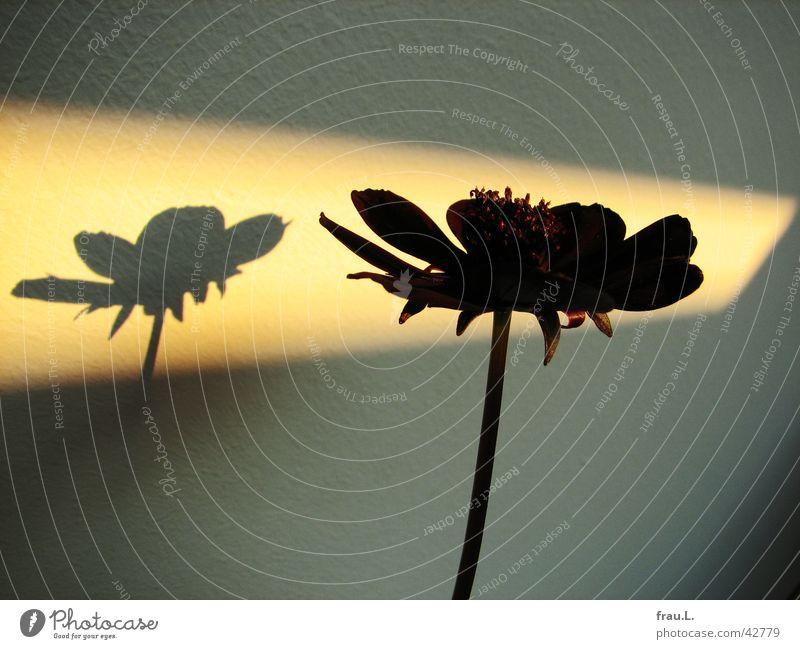 Witwe im Rampenlicht Blume schwarz Licht Sonnenfleck Wand Blüte Stengel Pflanze Blütenblatt rot Dekoration & Verzierung Schatten Natur scabiose witwenblume