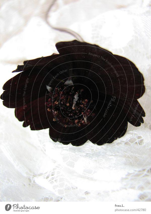 schwarze Witwe mit Spitze Natur Blume rot Blüte Kitsch Dekoration & Verzierung Blütenblatt