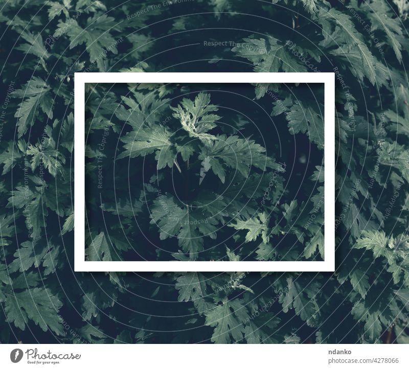 Busch mit grünen Blättern und weißem Rahmen. Platz für Inschrift Blatt Buchse Natur Hintergrund Laubwerk Garten Pflanze Textur Frühling Sommer geblümt frisch