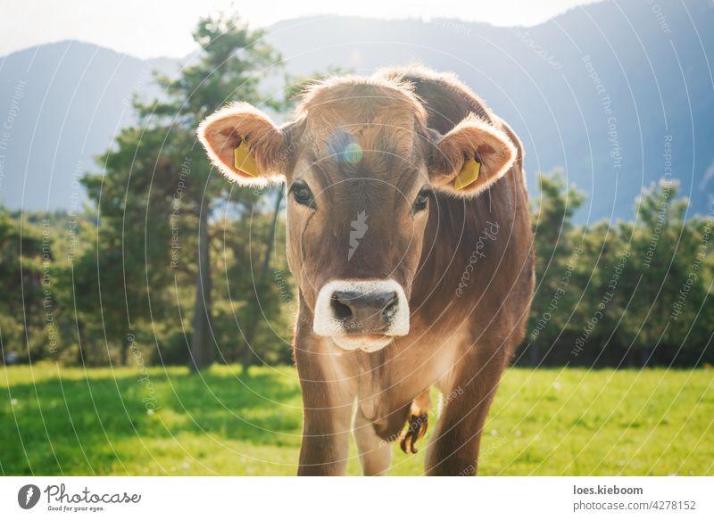 Niedliches sonnenbeschienenes Kalb der Rasse Braunvieh auf einer Almwiese in den Bergen, Mieming, Tirol, Österreich Kuh Wade Tier Baby Natur braun Bauernhof