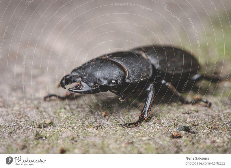 Dorcus parallelipipedus, der Zwerghirschkäfer Insekt Makro Wirbellose Wanze Coleoptera Natur Fauna schwarz animalia Nahaufnahme Entomologie Umwelt Tausendfüßler