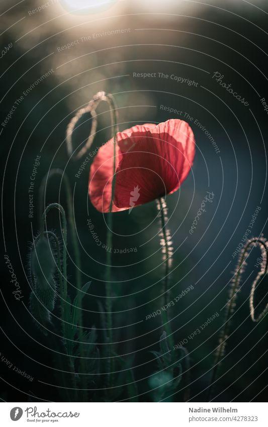 Mohnblume Blume Natur Blüte Pflanze Sommer Mohnblüte rot Feld Klatschmohn Wiese Außenaufnahme Mohnfeld Farbfoto roter mohn Menschenleer Idylle mohnwiese