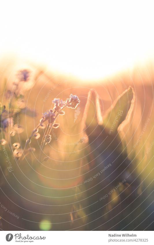 Wildblumen im Sonnenuntergang Blume Natur Blüte natürlich blühen Pflanze Sommer Wildpflanze Unschärfe Tageslicht natürliches Licht blühende Blume nah