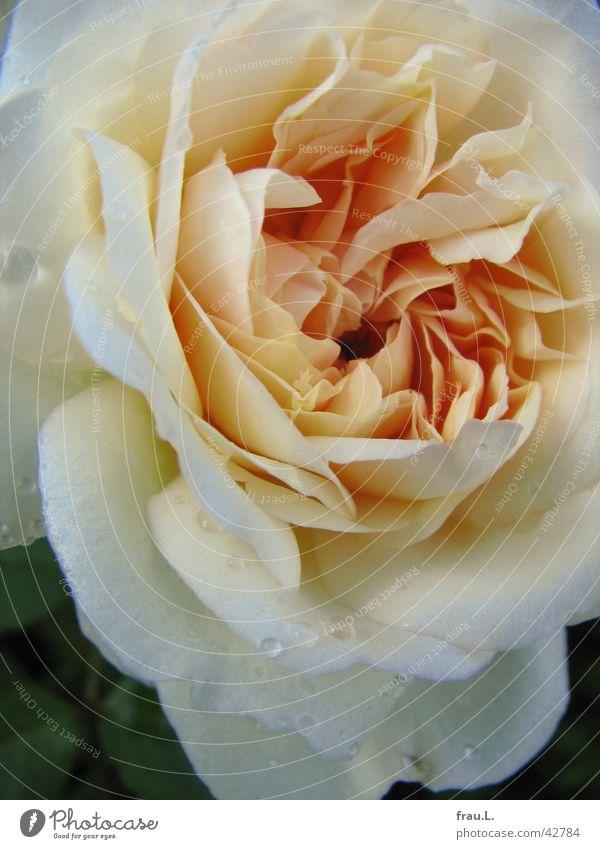 englische Rose Regen gelb Lachs Blume Blüte Blatt schön Pflanze Englische Rose Blütenblatt Häusliches Leben gefüllt Wassertropfen Natur