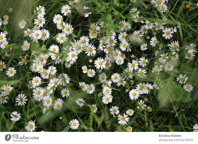gänseblümchenwiese tausendschön blumenwiese gräser blüten blühen wiesenblumen wildblume pflanze grün draußen natur lebensraum frühling sommer herbst jahreszeit