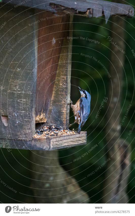 Kleiber pickt nach Futter in einem Vogelfutterhäuschen Tier Textfreiraum Fliege Lebensmittel Wald Natur niemand zu picken Singvogel Flügel