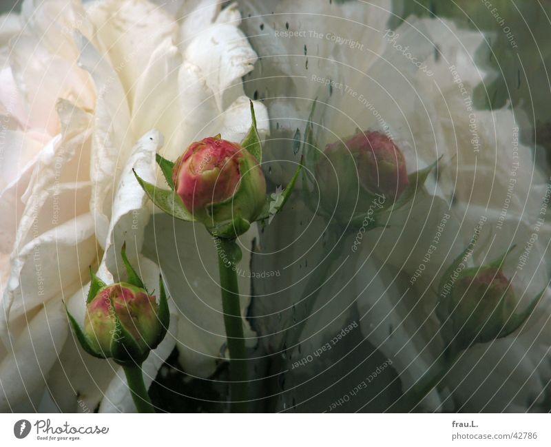 eine Rose ist eine Rose zart Englische Rose Fenster Reflexion & Spiegelung Regen Balkon Blume Blüte Pflanze rosa Häusliches Leben edel Blütenknospen Glas