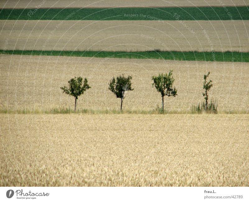 4 Apfelbäume Degersen Getreide Baum Feld Wege & Pfade schön Apfelbaum Weizenfeld Kornfeld Fußweg Niedersachsen letze tage Farbfoto