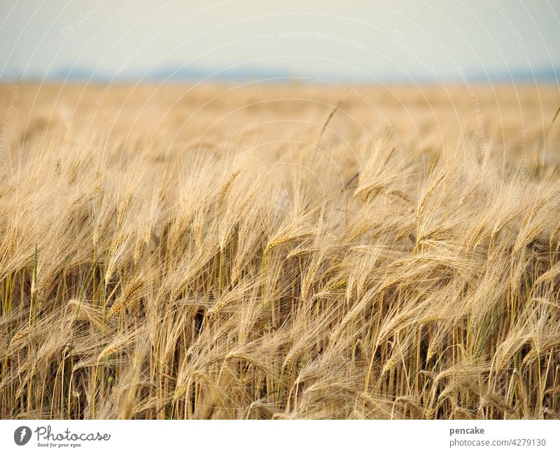 mohnloser montag Getreide Brot Mehl Ernährung Nahrung reif Korn Horizont Schwäbische Alb Feld Kornfeld Landwirtschaft Ähren Getreidefeld Ernte Lebensmittel