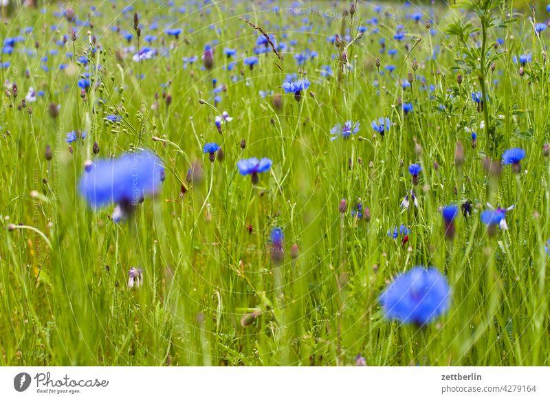 Kornblumen again acker blau blaue blume feld frühjahr frühling kornblume lichtung natur romantik romantisch sommer wachstum wiese wild wildwiese weide