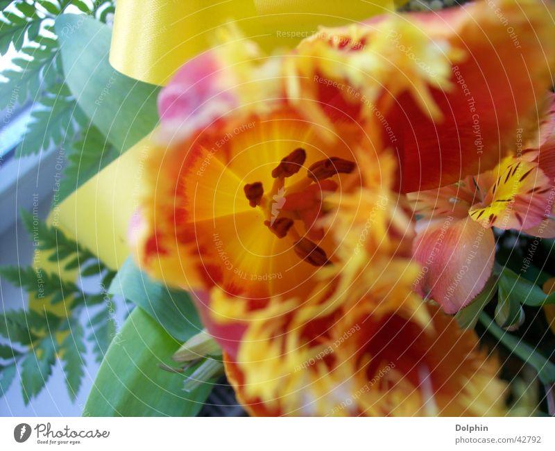 Tulpe gelb Blume Blütenblatt Nahaufnahme orange