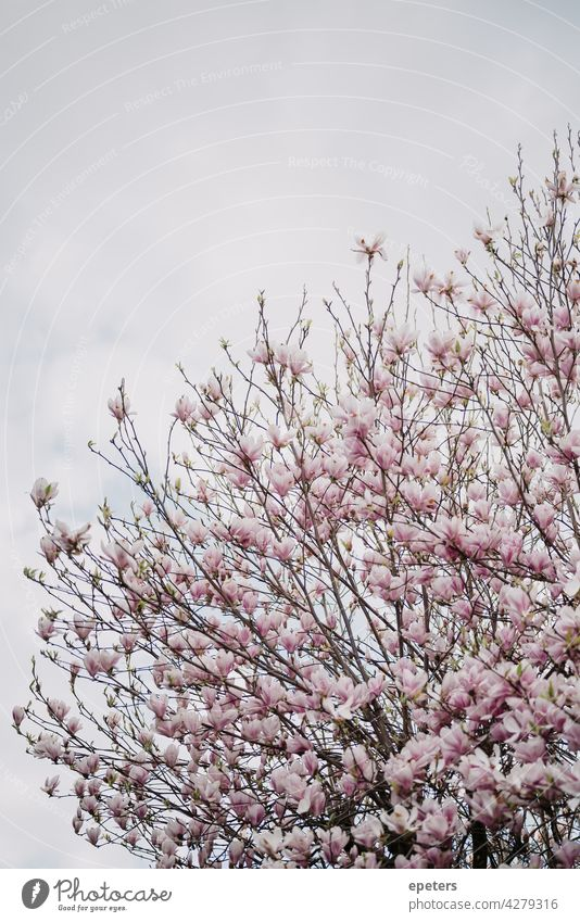 Blühende Magnolie gegen einen bewölkten Himmel Magnolienblüte Frühling Blüte rosa Natur Magnolienbaum Baum schön Pflanze Magnoliengewächse Farbfoto