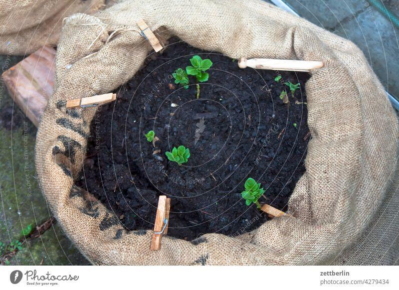 Kartoffelsprößlinge kartoffel kartoffelpflanze kartoffelsprößling sack kartoffelsack garten kleingarten balkon erde muttererde kompost zucht anzucht frühbeet