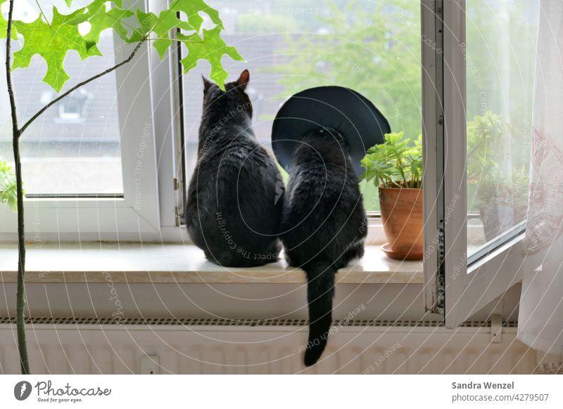 Katzenpaar am Fenster Tierarzt Tiermedizin Ohrenentzündung Halskrause Zusammenhalt Akzeptanz Pärchen Katzenhaltung Rudeltiere sozialisiert artgerecht