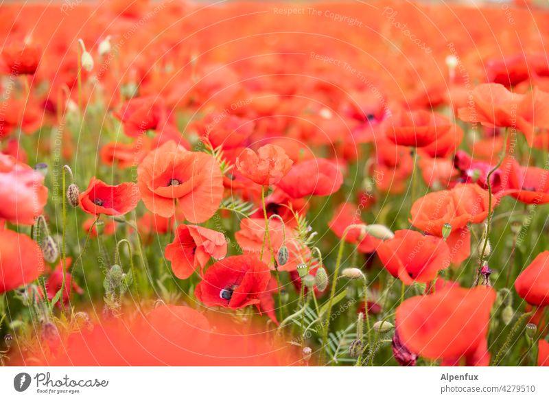 schon wieder Mohntag.... Blume Blüte Feld Klatschmohn rot Sommer Wiese Pflanze Mohnblüte Mohnfeld Natur Farbfoto roter mohn Menschenleer intensiv viele