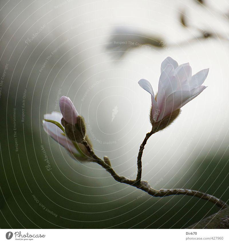 Magnolia Melancholica Pflanze Frühling Sträucher Blüte exotisch Magnoliengewächse Magnolienblüte Stern-Magnolie Zweig Ast Blütenknospen Garten Park Blühend