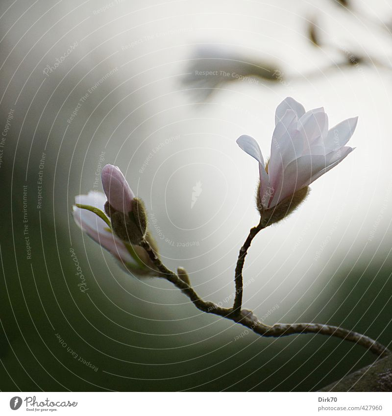 Magnolia Melancholica schön grün weiß Pflanze ruhig Frühling grau Blüte Garten außergewöhnlich rosa Park Wachstum Sträucher ästhetisch Vergänglichkeit