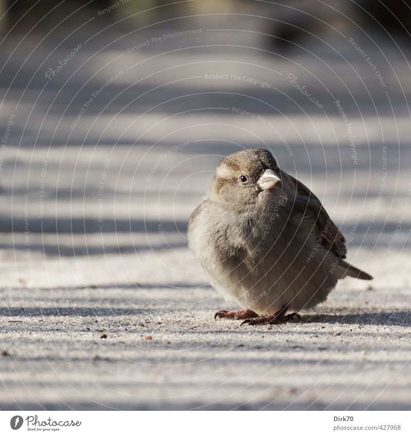 Federball 'mal anders Tier Schönes Wetter Park Wege & Pfade Wildtier Vogel Spatz Sperlingsvögel Haussperling Weibchen feminin 1 Sand beobachten frieren sitzen