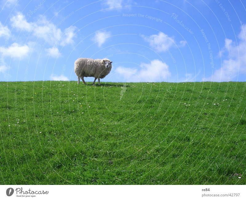 frisch gemääääht Himmel blau grün weiß ruhig Wolken Tier Wiese Gras Insel Nordsee Schaf Langeweile Wolle Niederlande Wattenmeer