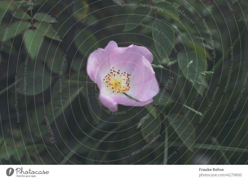 Ein zart rosa Dornröschen Dornrose Heckenrose Hundsrose blühen Blüte Sommer Garten Blume geöffnet gelb grün Natur