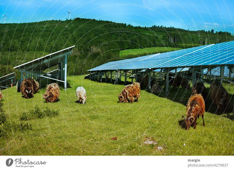 Schafe grasen unter einer Solaranlage Sonne Industrie Umwelt Pflanze regenerativ Panel Paneele solar Kraft Elektrizität Erzeuger sonnig Nutztier