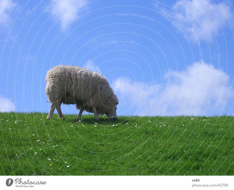 ein wollkneuel kommt selten allein Niederlande Wattenmeer Deich grün Wiese Wolken Gras Wolle Tier ruhig Langeweile weiß Himmel Insel Nordsee blau Texel Schaf
