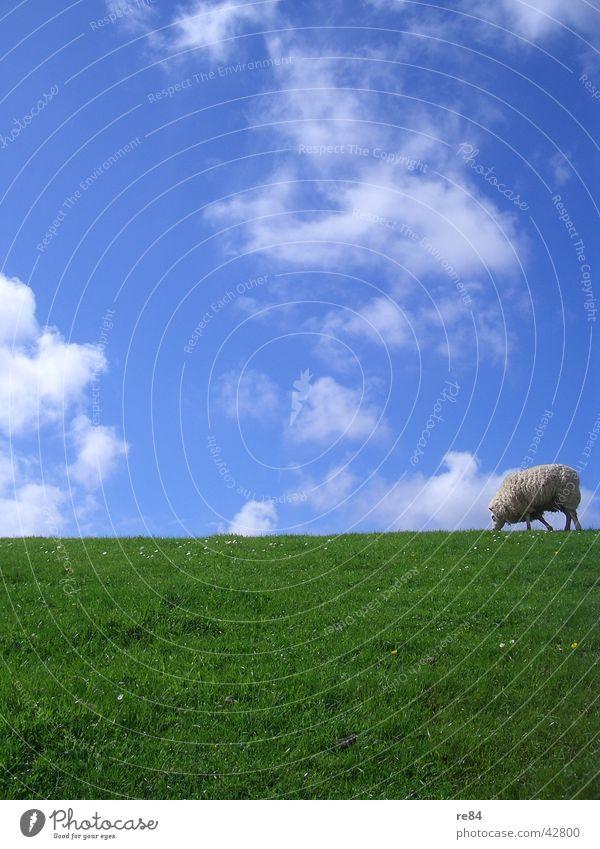 green blue white and schaaf Niederlande Wattenmeer Deich grün Wiese Wolken Gras Wolle Tier ruhig Langeweile weiß Himmel Insel Nordsee blau Schaf Texel