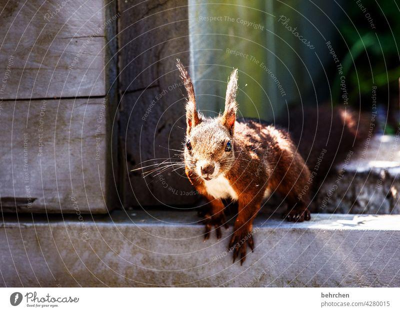 moinsen dude Frechdachs Nagetiere Natur Fell Wildtier lustig klein frech Garten Eichhörnchen beobachten Neugier Außenaufnahme Menschenleer niedlich Tierliebe