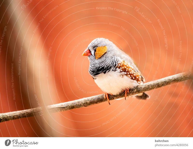 so müd schlafen Müdigkeit Tiergesicht Wildtier Gefieder Baum Natur Ast niedlich Flügel Federn Vogel Zebrafink Fink außergewöhnlich exotisch fantastisch schön
