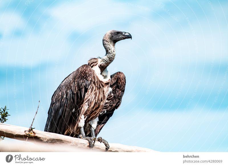 fliegen, ähm, kann ick och Blauer Himmel beeindruckend Luft hoch oben außergewöhnlich Schnabel Vogel besonders Freiheit fantastisch Wildtier Tier Federn