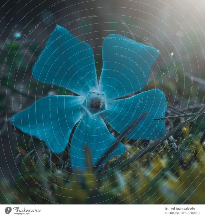 romantische blaue Blume in der Natur im Frühling Blütenblätter Pflanze Garten geblümt Flora natürlich dekorativ Dekoration & Verzierung Schönheit