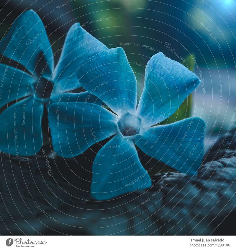 schöne blaue Blumen im Frühling Blütenblätter Pflanze Garten geblümt Flora Natur natürlich dekorativ Dekoration & Verzierung romantisch Schönheit