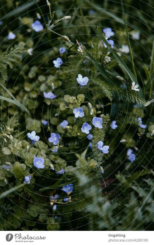 Wilde Wiese mit lila Blüten Blütenknospen blühen blume Naturschutzgebiet garten grün filigran fein Muster klein viele hintergrund blüte pflanze nah punkte wild