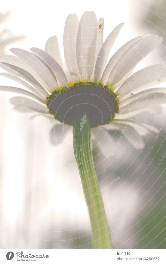 Margerite von unten Margeriten Korbblütler Wildblume Leucanthemum Blüte Stengel Gegenlicht Wiesenblume Schnittblume weiße Blütenblätter Bienenweide Sommer