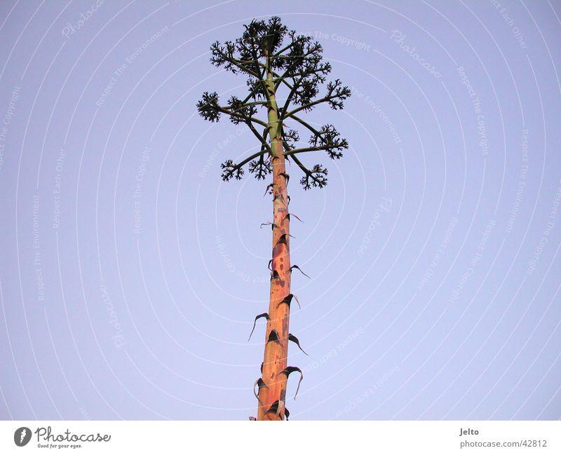 Amado Palme Natur Himmel Baum Pflanze Sommer Portugal
