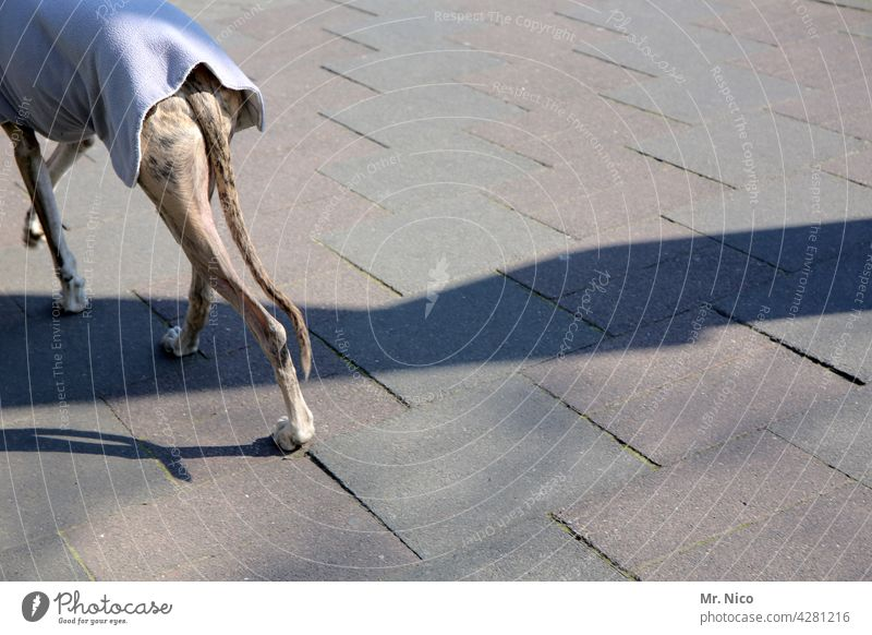 Hunderunde Haustier Gassi gehen Windhund elegant Rassehund Begleiter Schwanz Spaziergang Betonplatte Mantel Hundemantel Winter Herbst Tierliebe hundejacke