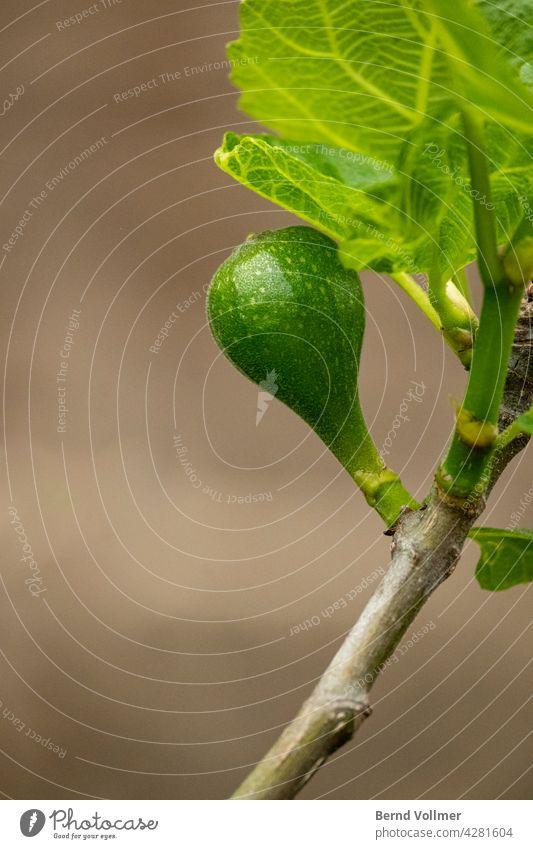 Feige Feigen Feigenbaum Feigenfrucht Feigenpflanze Ficus Ficus carica