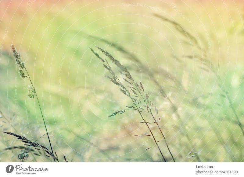Gräser im Abendlicht, Frühsommer Rispen Halme zart Gras Ähren schön hell leuchtend grün gold Frühling Natur natürlich Wiese Licht Stengel