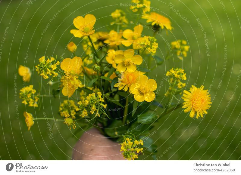 Gelber Wildblumenstrauß mit Löwenzahn, Butterblume und Raps vor grünem Hintergrund Blumenstrauß gelb Hand halten hübsch blühend selbstgepflückt Natur Sommer