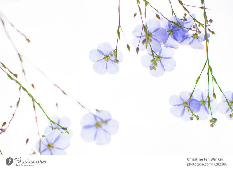 auf den Kopf gestellt   himmelblauer Lein, Stauden-Lein, Linum perenne gegen hellen Himmel hellblau zart durchscheinend Sommerpflanze Naturgarten Pollenpflanze