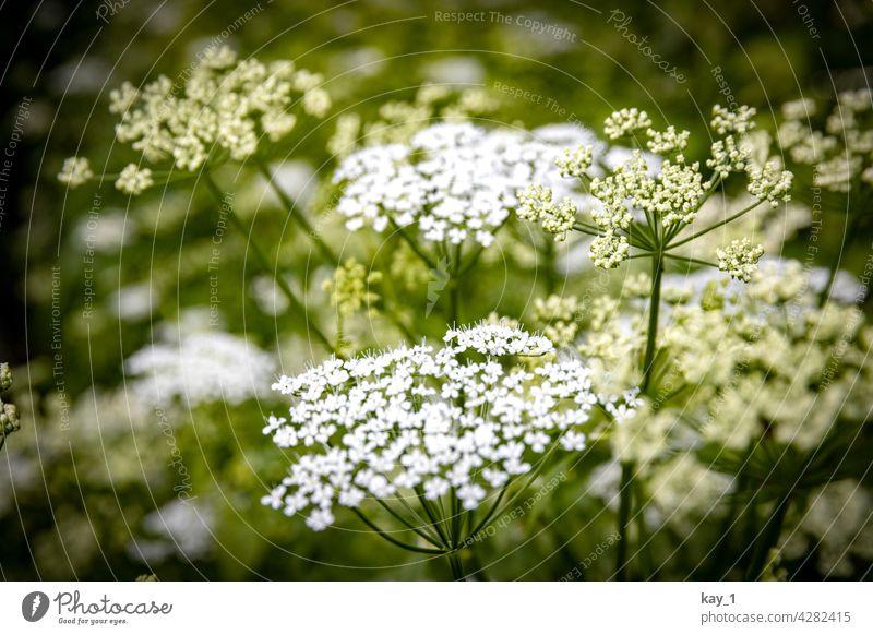 Blüten vom Giersch in Nahaufnahme Natur grün Grünpflanze Pflanze Farbfoto Außenaufnahme Umwelt Schwache Tiefenschärfe Detailaufnahme Tag Wald Wildpflanze Blatt