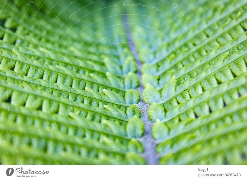 Farnblatt in Nahaufnahme Natur grün Grünpflanze Garten Gartenpflanzen Pflanze Farbfoto Außenaufnahme Umwelt Schwache Tiefenschärfe Detailaufnahme Tag Wald