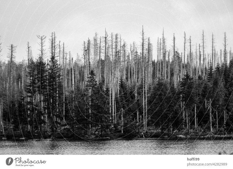 Baumsterben mit Hoffnung auf Neues Borkenkäfer borkenkäferbefall Nadelwald Monokultur Wald Natur Umwelt Waldsterben Klimawandel Baumstamm Forstwirtschaft Holz